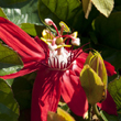 Red passion flower vine.